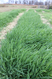 Cover crops like annual rye provide a thick coat of protection to the soil over the winter months